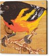 Oriole 4 Acrylic Print