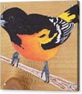 Oriole 5 Acrylic Print