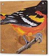 Oriole 7 Acrylic Print