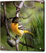 Oriole And Pine Cone Acrylic Print
