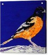Oriole Acrylic Print