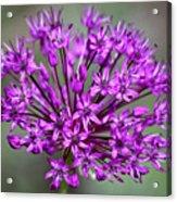 Ornamental Allium Acrylic Print