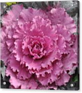 Ornamental Cabbage Acrylic Print