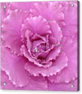 Ornamental Cabbage With Raindrops - Square Acrylic Print