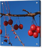 Ornamental Crabapple Branch Acrylic Print