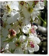 Ornamental Pear Acrylic Print