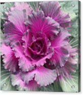Ornamental Red Cabbage Acrylic Print