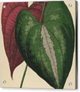 Ornamental Yam  Dioscorea Discolor Acrylic Print