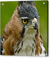 Ornate Hawk Eagle Acrylic Print