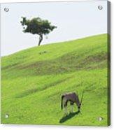 Oryx On Hill Acrylic Print