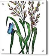 Oryza Sativa Acrylic Print