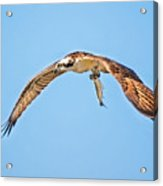 Ospre Carrying Lunch Acrylic Print