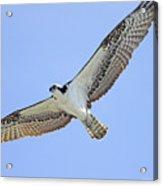 Osprey 1-30-11 Acrylic Print