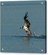 Osprey 1 - Fish 0 Acrylic Print