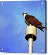 Osprey 1 Acrylic Print