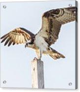 Osprey 8140 Acrylic Print