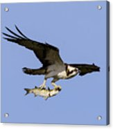 Osprey And Catch Acrylic Print