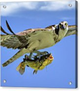 Osprey And Catfish Acrylic Print