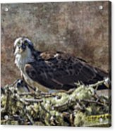 Osprey And Young - Feeding Acrylic Print