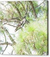 Osprey Applesauce Acrylic Print