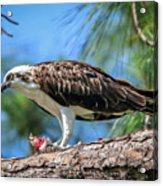 Osprey Breakfast Break Acrylic Print