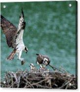 Osprey Bringing Fodd To The Babies Acrylic Print