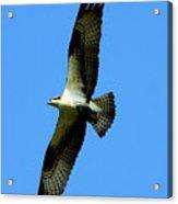 Osprey Carrying A Fish Acrylic Print
