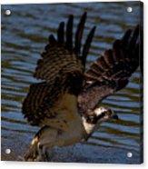 Osprey Catching A Fish Acrylic Print