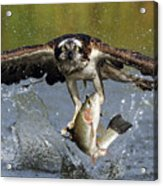 Osprey Catching Trout Acrylic Print