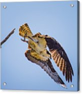 Osprey Dive Acrylic Print