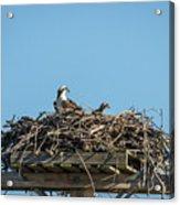 Osprey Family 8283 Acrylic Print
