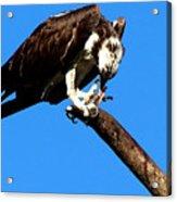 Osprey Feeding 014 Acrylic Print