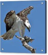 Osprey Feeding On A Fish Acrylic Print