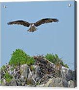 Osprey Flying Over A Bird's Nest Acrylic Print