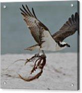 Osprey Flying With Seaweed Acrylic Print
