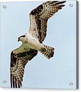 Osprey Hovering Acrylic Print