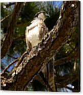Osprey Hunting Acrylic Print