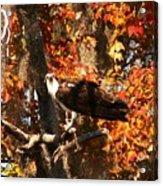 Osprey In Fall Acrylic Print