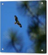 Osprey In Flight 8 Acrylic Print
