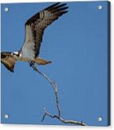 Osprey In Flight With Stick For Nest 031620160906 Acrylic Print