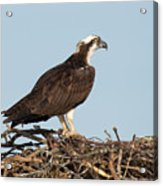 Osprey In Nest Acrylic Print