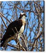 Osprey In Spring Acrylic Print