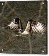 Osprey In The Creek Acrylic Print