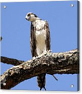 Osprey In The Trees Acrylic Print