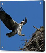 Osprey Landing Approach - Oregon Coast Acrylic Print