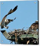 Osprey Landing In Nest Acrylic Print
