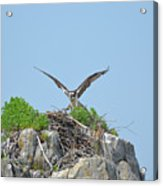 Osprey Landing On A Nest Acrylic Print