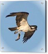 Osprey Natures Way Ll Acrylic Print