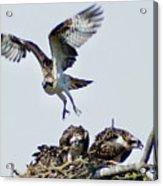 Osprey Nest Acrylic Print