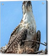 Osprey Nesting Acrylic Print